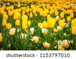 yellow and white tulips in... | Shutterstock . vector #1153797010