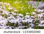 meadow close up with white star ... | Shutterstock . vector #1153802080