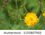 yellow cosmos or cosmos... | Shutterstock . vector #1153807003