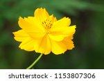 yellow cosmos or cosmos... | Shutterstock . vector #1153807306