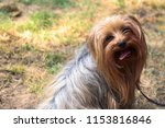 Cute Yorkshire Terrier With...