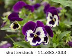 violet color pansy flower with... | Shutterstock . vector #1153837333