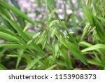 Chasmanthium Latifolium...