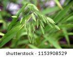 Flowering Ornamental Grass In...