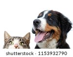 Stock photo bernese mountain dog and cat 1153932790
