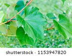 new leaves are growing and... | Shutterstock . vector #1153947820
