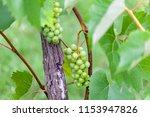 new leaves are growing and... | Shutterstock . vector #1153947826