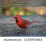 red cardinal bird | Shutterstock . vector #1153953463