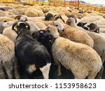 sheeps are waiting for the... | Shutterstock . vector #1153958623