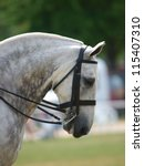 Dapple Grey Cob In Double Bridle