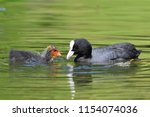 Close Up Of A Coot Swimming In...