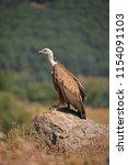 griffon vulture  gyps fulvus ... | Shutterstock . vector #1154091103