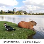 Capybara Resting On The Edge O...