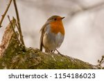 lone robin  perched on silver... | Shutterstock . vector #1154186023