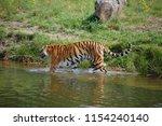 a siberian tiger  panthera... | Shutterstock . vector #1154240140