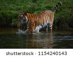 a siberian tiger  panthera... | Shutterstock . vector #1154240143