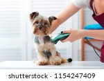 Stock photo yorkshire terrier puppy getting haircut with a shaving machine 1154247409