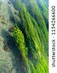 aquatic vegetation in  blue... | Shutterstock . vector #1154266600