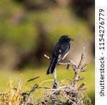 chirpy little juvenile ... | Shutterstock . vector #1154276779