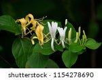 Honeysuckle Flower Closeup