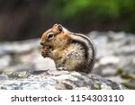 ground squirrel eating a nut in ... | Shutterstock . vector #1154303110