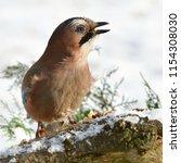 jay bird during winter time | Shutterstock . vector #1154308030