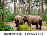the asian elephant  or asiatic... | Shutterstock . vector #1154329843