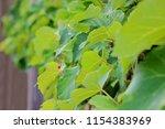 green grape vine   | Shutterstock . vector #1154383969