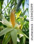 yellow corn cob in green leaves ...   Shutterstock . vector #1154425099