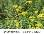 yellow flowers  close up.... | Shutterstock . vector #1154434330