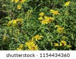 yellow flowers  close up.... | Shutterstock . vector #1154434360