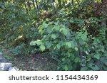 green leaves  trees. summer... | Shutterstock . vector #1154434369