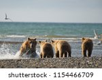 Mother Sow Bear And Cubs In...