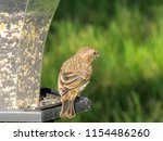 female house finch shows her... | Shutterstock . vector #1154486260