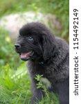 little cute newfoundland puppy... | Shutterstock . vector #1154492149