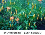 lilies lilium lily   flowers... | Shutterstock . vector #1154535010