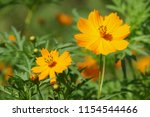 yellow cosmos or cosmos... | Shutterstock . vector #1154544466