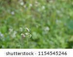 billygoat weed or ageratum... | Shutterstock . vector #1154545246