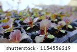 sprout of red oak letture salad. | Shutterstock . vector #1154556319