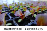 sprout of red oak letture salad.... | Shutterstock . vector #1154556340