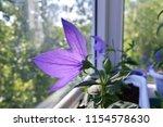 Violet Flower Of Platycodon...