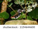 the gouldian finch  erythrura... | Shutterstock . vector #1154644600