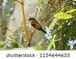 the gouldian finch  erythrura... | Shutterstock . vector #1154644633