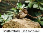 the gouldian finch  erythrura... | Shutterstock . vector #1154644660