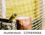 the gouldian finch  erythrura... | Shutterstock . vector #1154644666