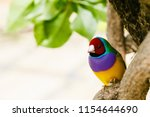 the gouldian finch  erythrura... | Shutterstock . vector #1154644690
