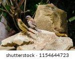 the gouldian finch  erythrura... | Shutterstock . vector #1154644723