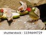 the gouldian finch  erythrura... | Shutterstock . vector #1154644729