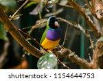 the gouldian finch  erythrura... | Shutterstock . vector #1154644753