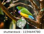 the gouldian finch  erythrura... | Shutterstock . vector #1154644780